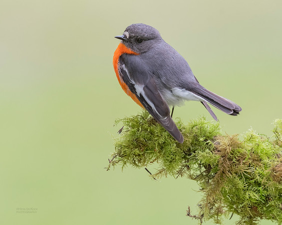 Flame Robin, Otway Ranges, VIC, Oct 2018-7