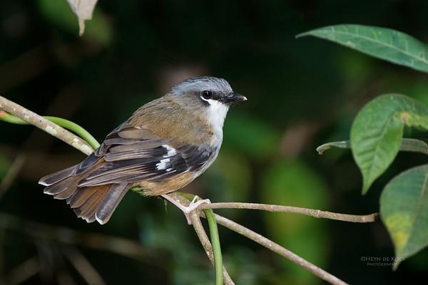 Grey-headed Robin, Lake Eacham, QLD, Dec 2014a