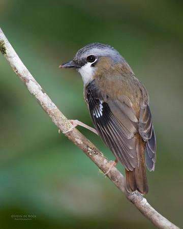 Grey-headed Robin, Lake Eacham, QLD, Dec 2014-1