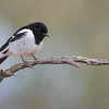 Hooded Robin, Bowra, Cunnamulla, QLD, Aus, Sept 2017-1