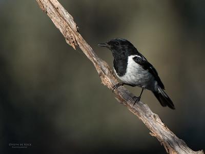 Hooded Robin, Mildura, NSW, Aug 2012-1