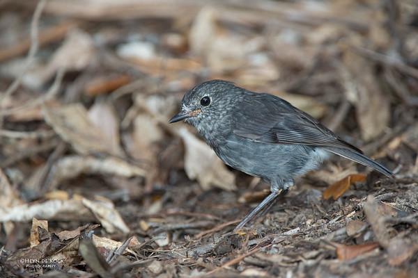North Island Robin, Tiritiri Matangi, NZ, March 2015-2