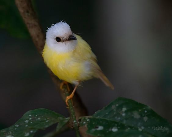 Pale-yellow Robin, Leucistic, Curtain Tree Fig, QLD, Jan 2020-2