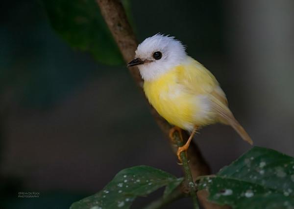 Pale-yellow Robin, Leucistic, Curtain Tree Fig, QLD, Jan 2020-1