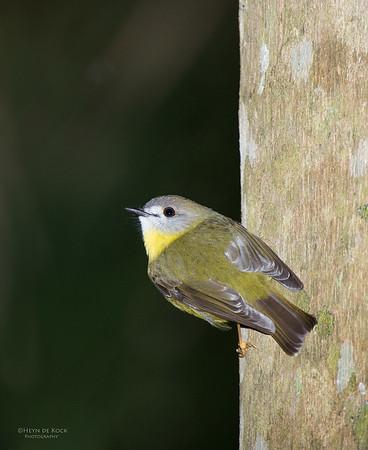 Pale Yellow Robin, Tamborine, QLD, Jun 2014