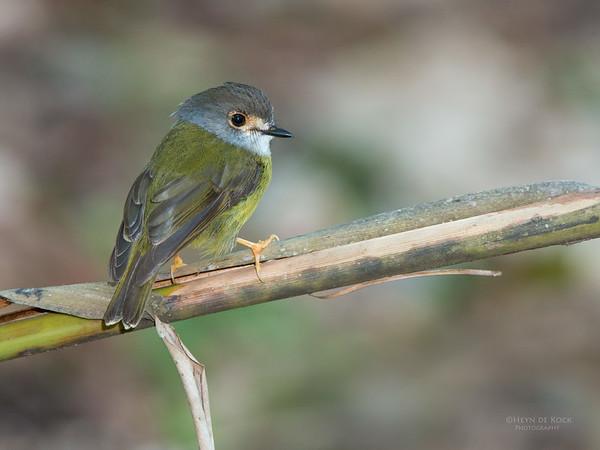 Pale Yellow-Robin, Julatten, QLD, Dec 2014