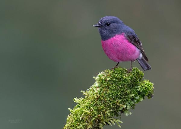 Pink Robin, Otway Ranges, VIC, Oct 2018-9