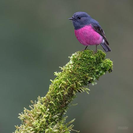 Pink Robin, Otway Ranges, VIC, Oct 2018-5