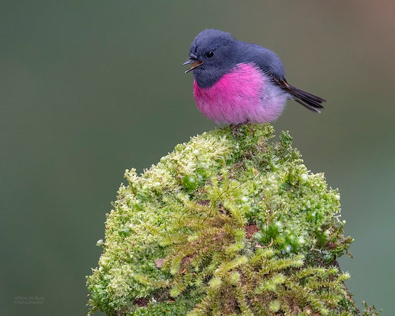 Pink Robin, Otway Ranges, VIC, Oct 2018-4