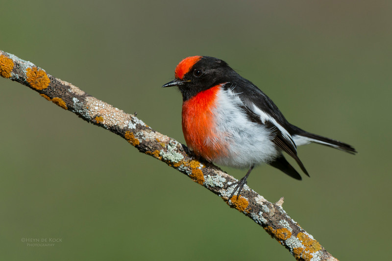 Red-capped Robin, Binya SF, NSW, Aus, Aug 2012-6_1