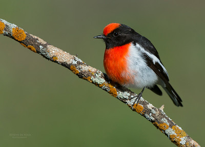 Red-capped Robin, Binya SF, NSW, Aus, Aug 2012-7_1