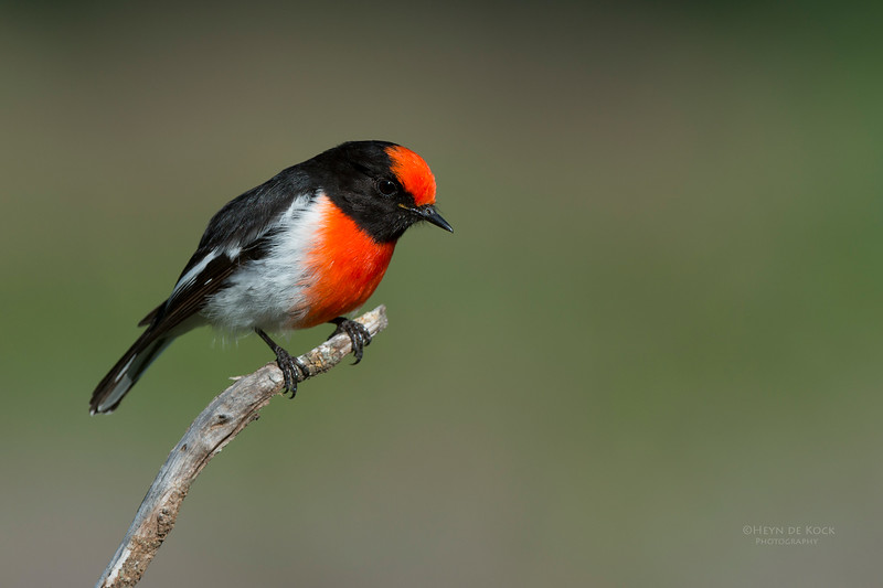 Red-capped Robin, Binya SF, NSW, Aus, Aug 2012-4_1