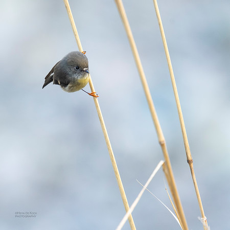 New Zealand Tomtit, f, Fox Glacier, SI, NZ, Aug 2018-1