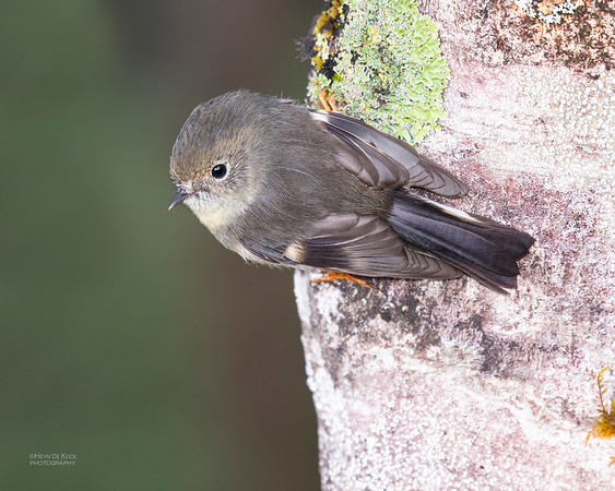 New Zealand Tomtit, f, Franz Josef, SI, NZ, Aug 2018-1