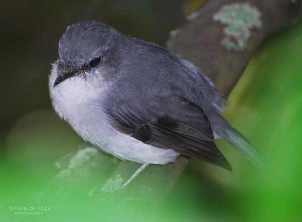 White Breasted Robin, Walpole, WA, Aus
