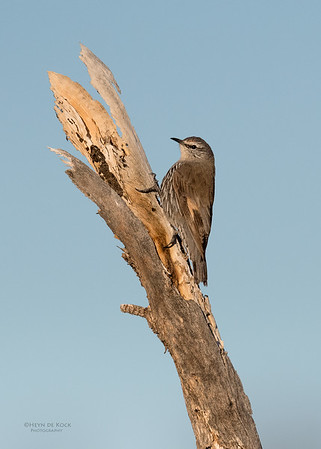 White-browed Treecreeper, Bowra, Cunnamulla, QLD, Aus, Sept 2017-1