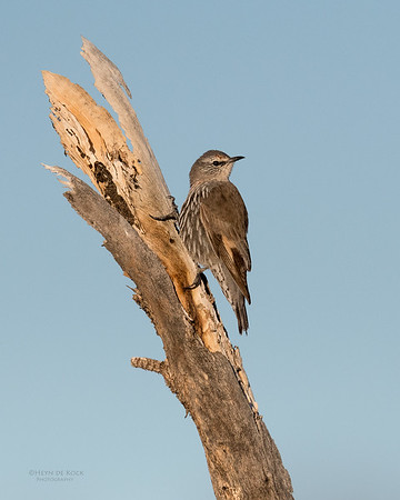 White-browed Treecreeper, Bowra, Cunnamulla, QLD, Aus, Sept 2017-2