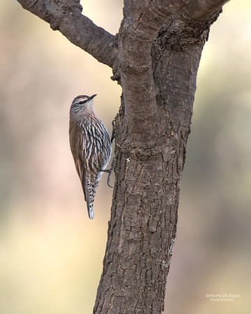 White-browed Treecreeper, f, Gluepot, SA, Aug 2012-