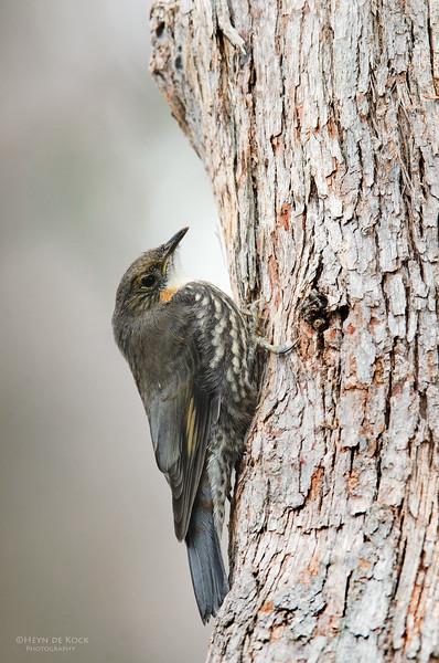 White-throated Treecreeper, Imm, Sandy Camp Wetlands, QLD, Aus, Jun 2013