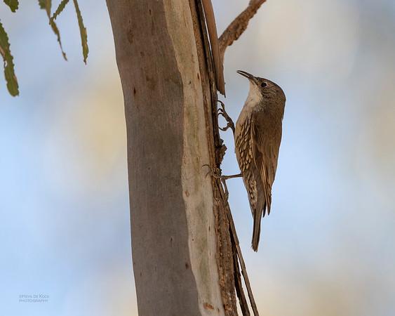White-throated Treecreeper, Deniliquin, NSW, Oct 2018-1