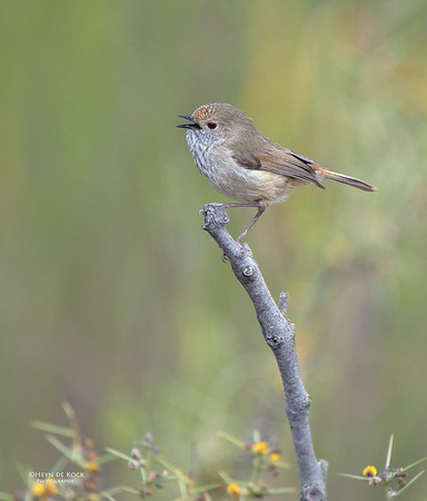 Brown Thornbill, Capertee Valley, NSW, Sep 2013-1