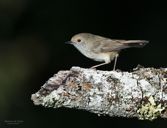 Brown Thornbill, Comerong Island, NSW, Sep 2012