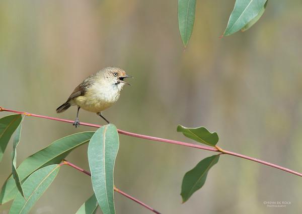 Buff-rumped Thorbill, Capertee Valley, NSW, Aus, Sep 2013-1