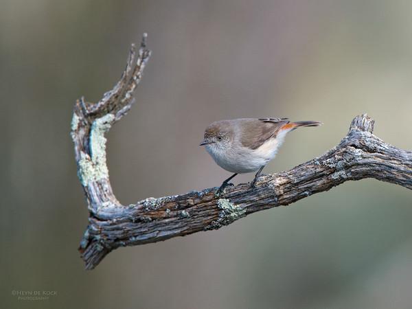 Chestnut-rumped Thornbil, Yanga NP, NSW, Aug 2012