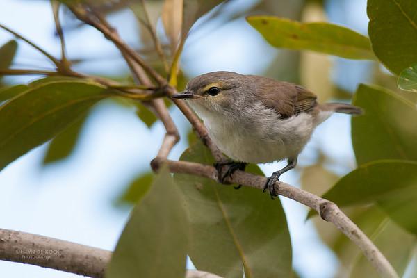 Mangrove Gerygone, Gold Coast, QLD, Jan 2011