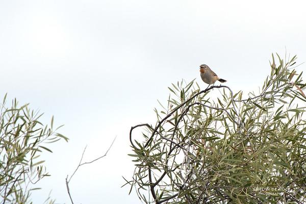 Redthroat, Gluepot, SA, Aug 2012-1
