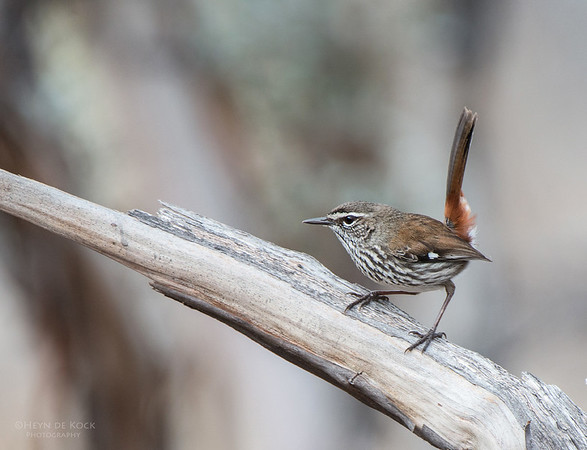 Shy Heathwren, Gluepot, SA, Aus, Aug 2012