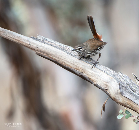 Shy Heathwren, Gluepot, SA, Aus, Aug 2012-3