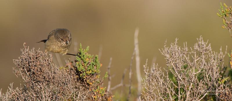 Slender-billed Thornbill, Port Clinton CR, SA, May 2011-5