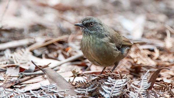 Tasmanian Scrubwren, Bruny Island, TAS, Feb 2011-2