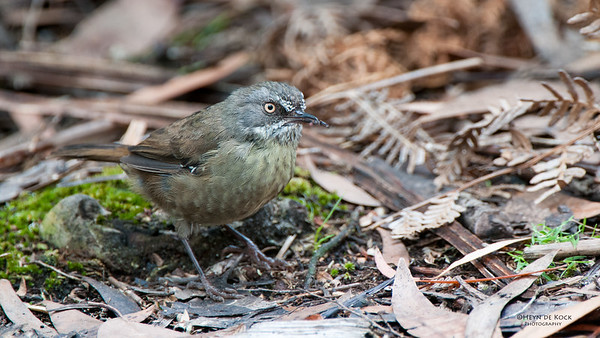 Tasmanian Scrubwren, Bruny Island, TAS, Feb 2011-1