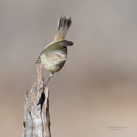 Weebill, St George, QLD, Sept 2017-2