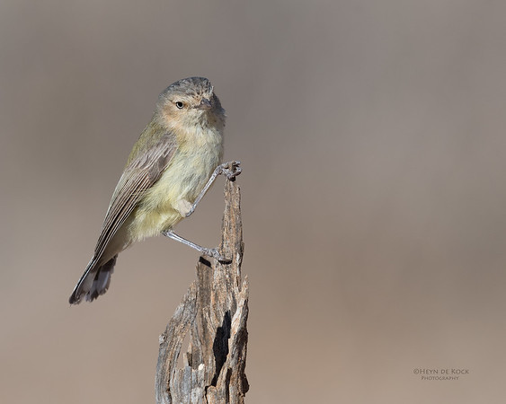 Weebill, St George, QLD, Sept 2017-3
