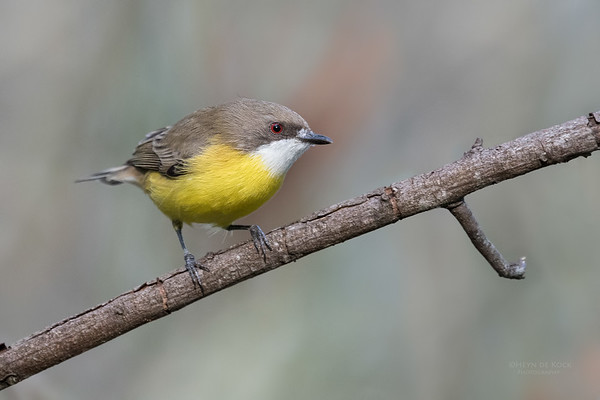 White-throated Gerygone, Mudgeeraba, QLD, April 2017
