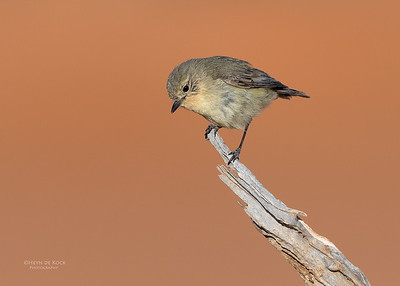 Yellow Thornbill, Bowra, Cunnamulla, QLD, Aus, Sept 2017-1