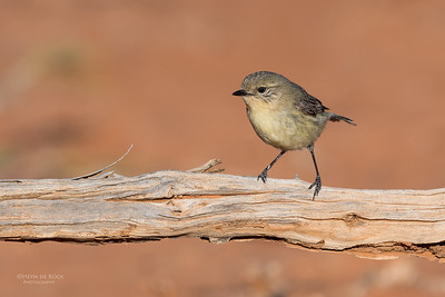 Yellow Thornbill, Bowra, Cunnamulla, QLD, Aus, Sept 2017-2