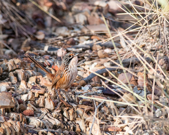 Carpenterian Grasswren, McNamara Rd, Mt Isa, QLD, Sep 2010