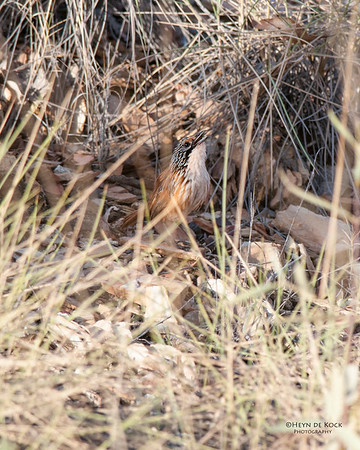 Carpenterian Grasswren, McNamara Rd, Mt Isa, QLD, Sep 2010-1