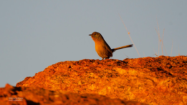 Dusky Grasswren, Alice Springs, NT, Jun 2012
