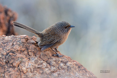 Dusky Grasswren, Alice Springs, NT, Jun 2012-1