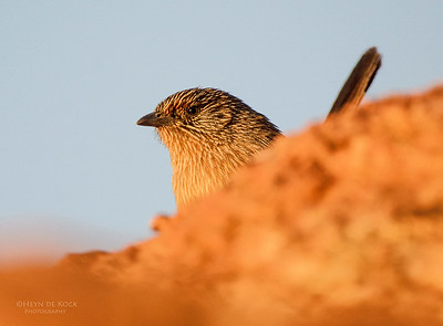 Dusky Grasswren, Mt Gillen, Alice Springs, NT, Aus, Jun 2012