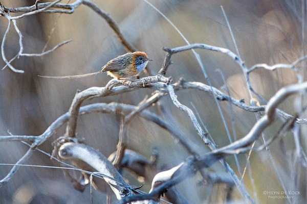 Mallee Emu-wren, Hattah Kulkyne NP, VIC, Aus, Nov 2014-2