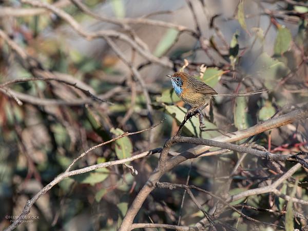 Mallee Emu-wren, Hattah Kulkyne NP, VIC, Aus, Nov 2014-1