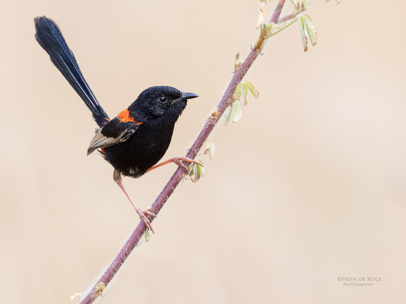 Red-backed Fairywren, Oxley Creek Common, Brisbane, QLD, Sept 2017-6