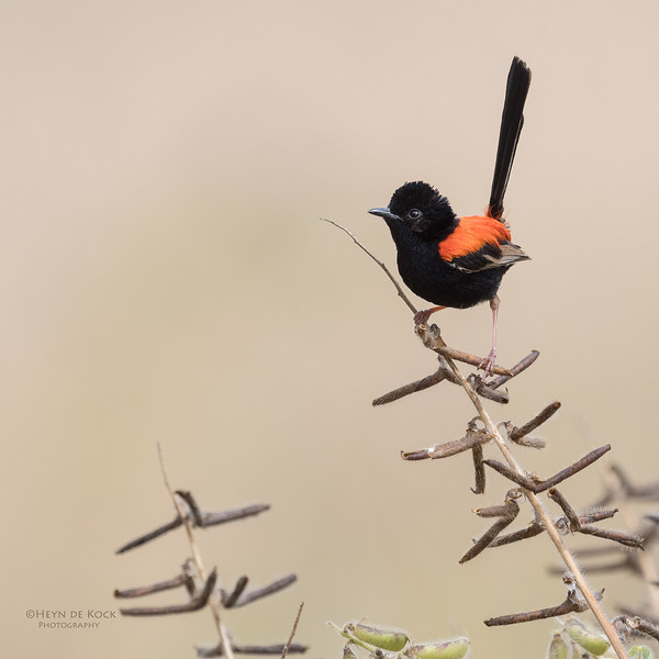 Red-backed Fairywren, Oxley Creek Common, Brisbane, QLD, Sept 2017-5