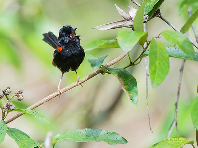 Red-backed Fairy-wren, Mudgeeraba, QLD, Dec 2014-1